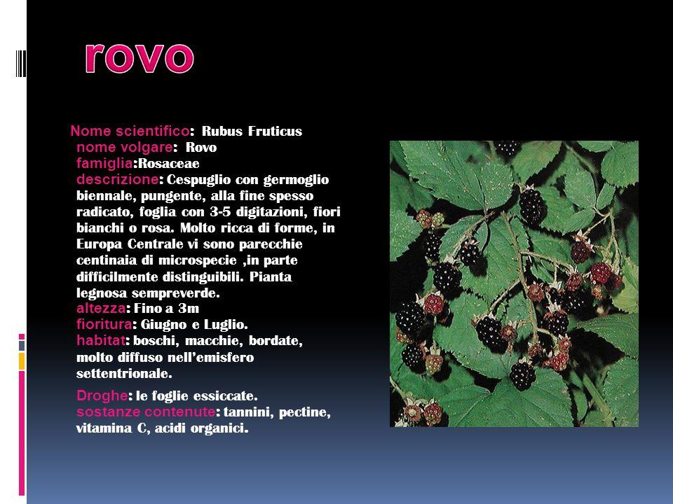 Nome scientifico : Rubus Fruticus nome volgare : Rovo famiglia : Rosaceae descrizione : Cespuglio con germoglio biennale, pungente, alla fine spesso r
