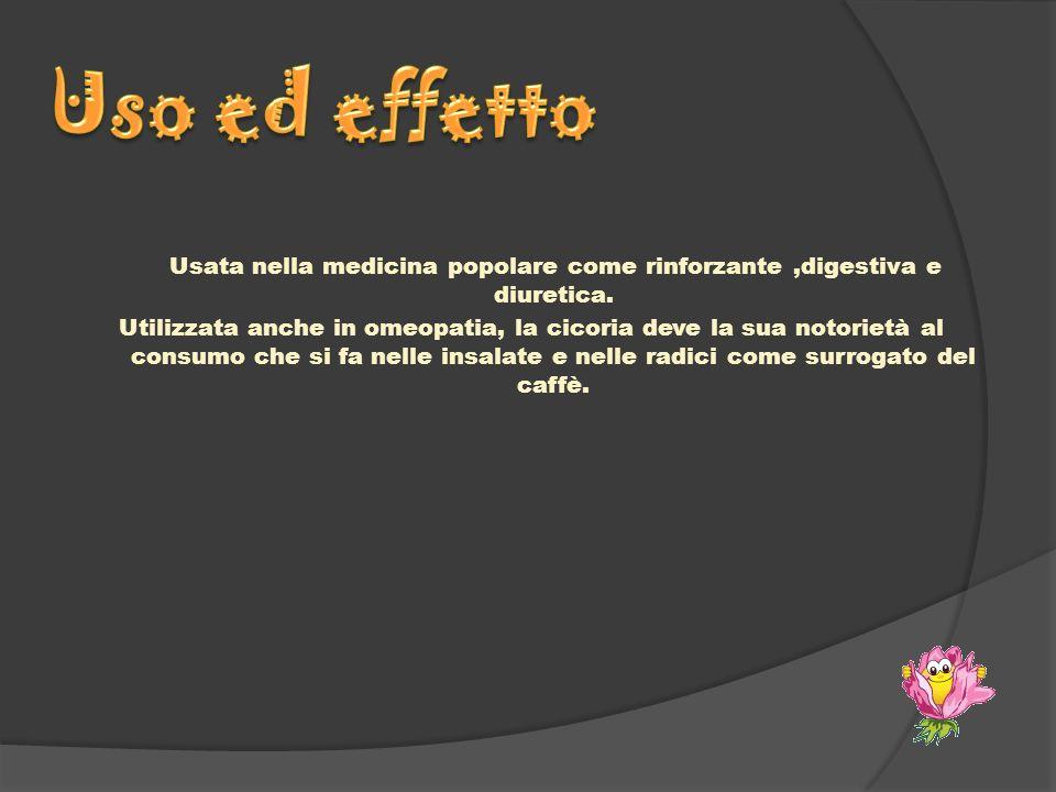 Usata nella medicina popolare come rinforzante,digestiva e diuretica. Utilizzata anche in omeopatia, la cicoria deve la sua notorietà al consumo che s