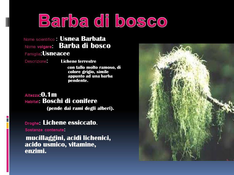 Nome scientifico : Usnea Barbata Nome volgare : Barba di bosco Famiglia : Usneacee Descrizione : Lichene terrestre con tallo molto ramoso, di colore g