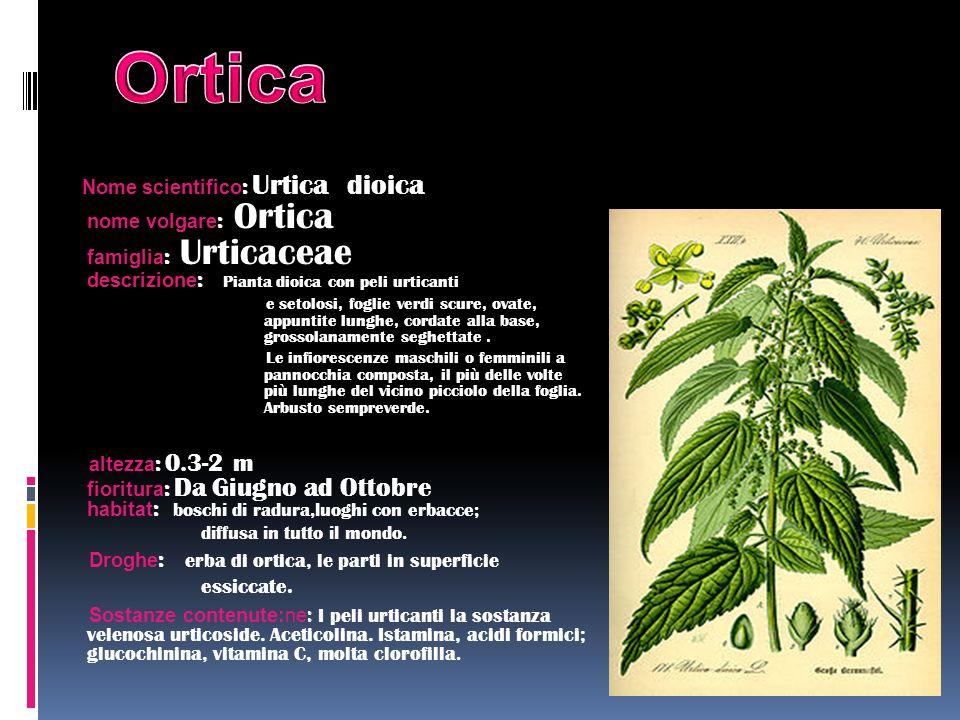 Nome scientifico : Urtica dioica nome volgare : Ortica famiglia : Urticaceae descrizione : Pianta dioica con peli urticanti e setolosi, foglie verdi s