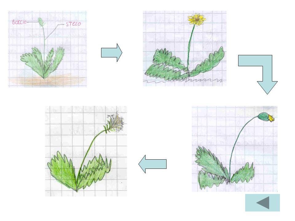 Quarta osservazione Il fiore si è trasformato in un SOFFIONE. Il Soffione è di colore biancastro ed ha una forma a pallina. Si notano tante piccole pa