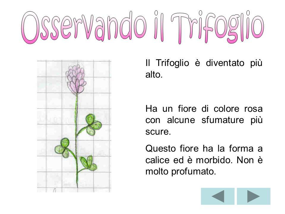 Soffione Fiore del Tarassaco