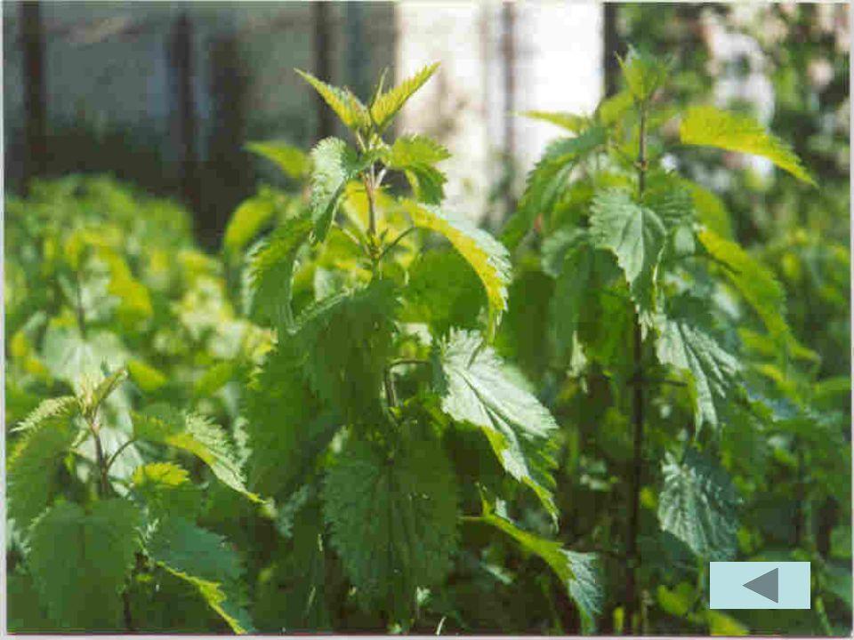 LOrtica è cresciuta moltissimo. Ha le foglie verdi, piuttosto grandi e un po allungate I peletti che ricoprono il fusto e le foglie della pianta si ve