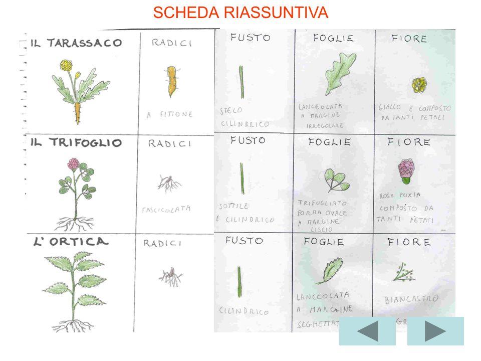 Seconda osservazione LOrtica ha dei piccoli fiorellini, un po verdi e un po bianchi. Sono raccolti in grappoli come una pigna duva.