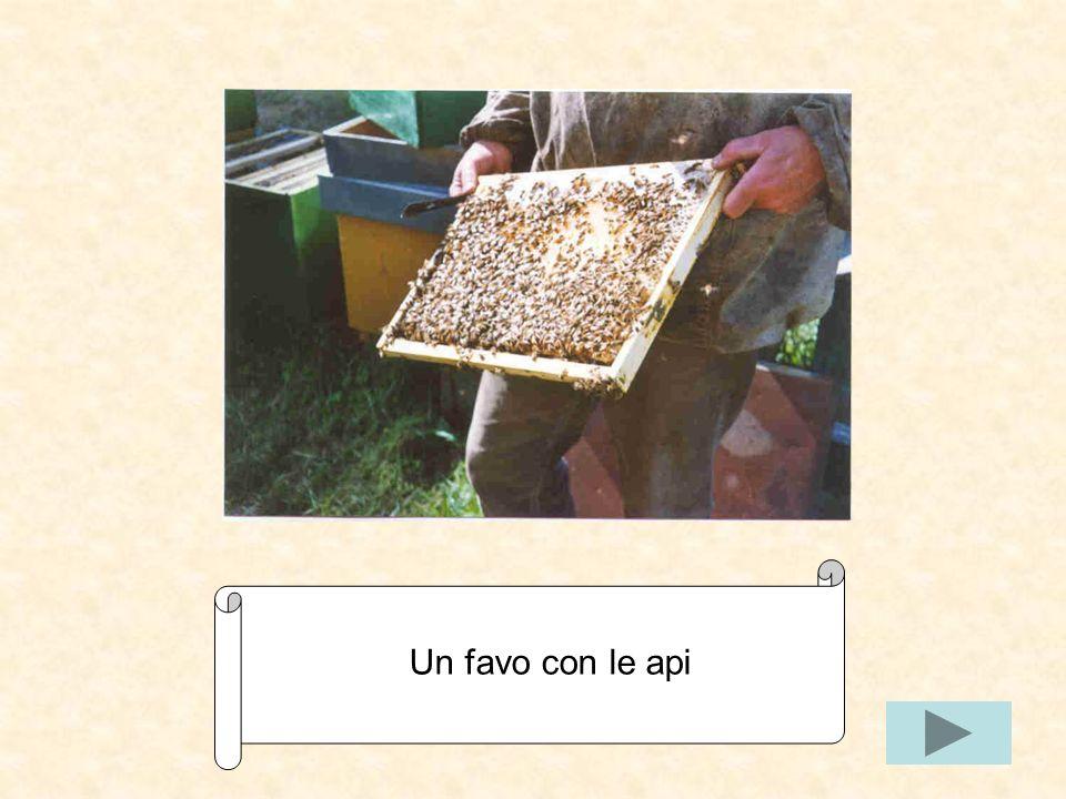 Lapicoltore usa laffumicatore per allontanare le api dal melario.