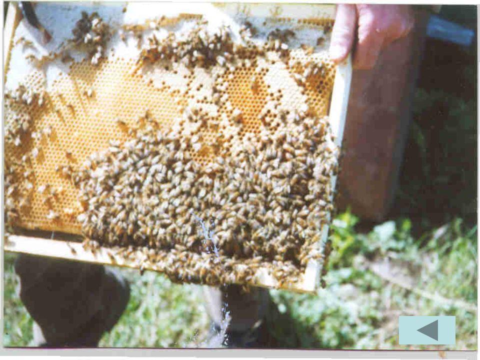 Il miele viene conservato in particolari contenitori detti maturatori Album fotografico