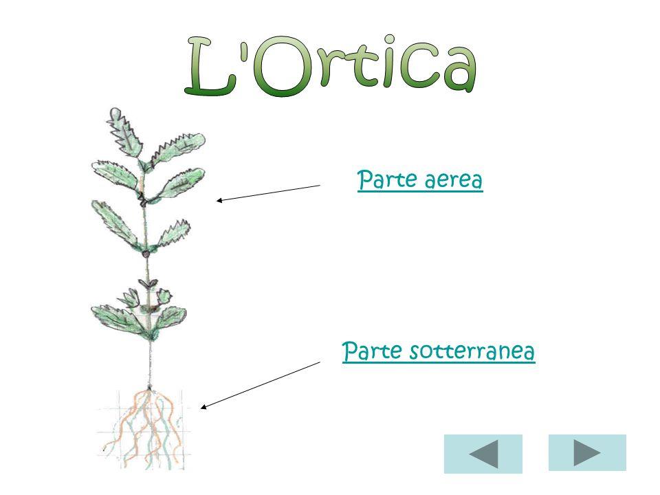 Parte sotterranea Radice è formata da una radice grossa da cui partono tante altre più piccole ( come se fossero dei pelettini ) ha un colore marronci