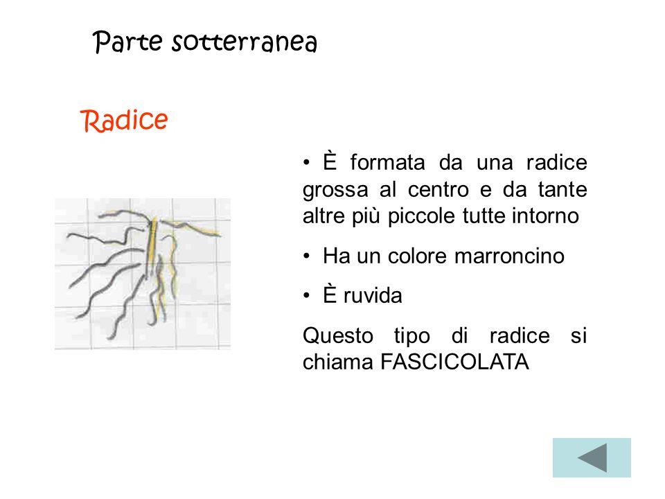 Parte sotterranea Radice È formata da una radice grossa al centro e da tante altre più piccole tutte intorno Ha un colore marroncino È ruvida Questo tipo di radice si chiama FASCICOLATA