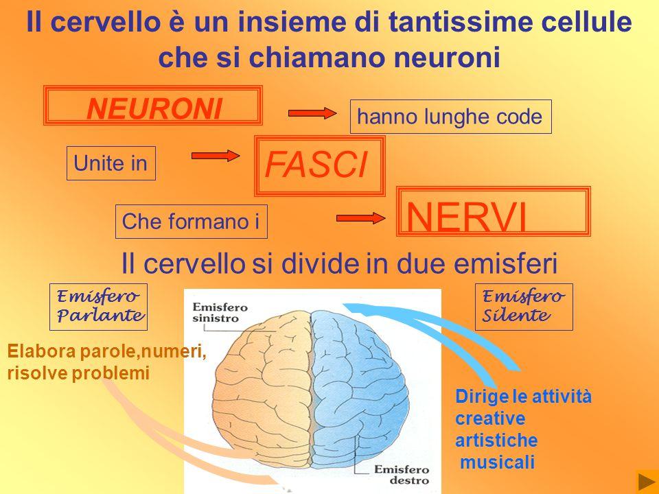 NEURONI hanno lunghe code Unite in FASCI Che formano i NERVI Il cervello si divide in due emisferi Elabora parole,numeri, risolve problemi Dirige le a
