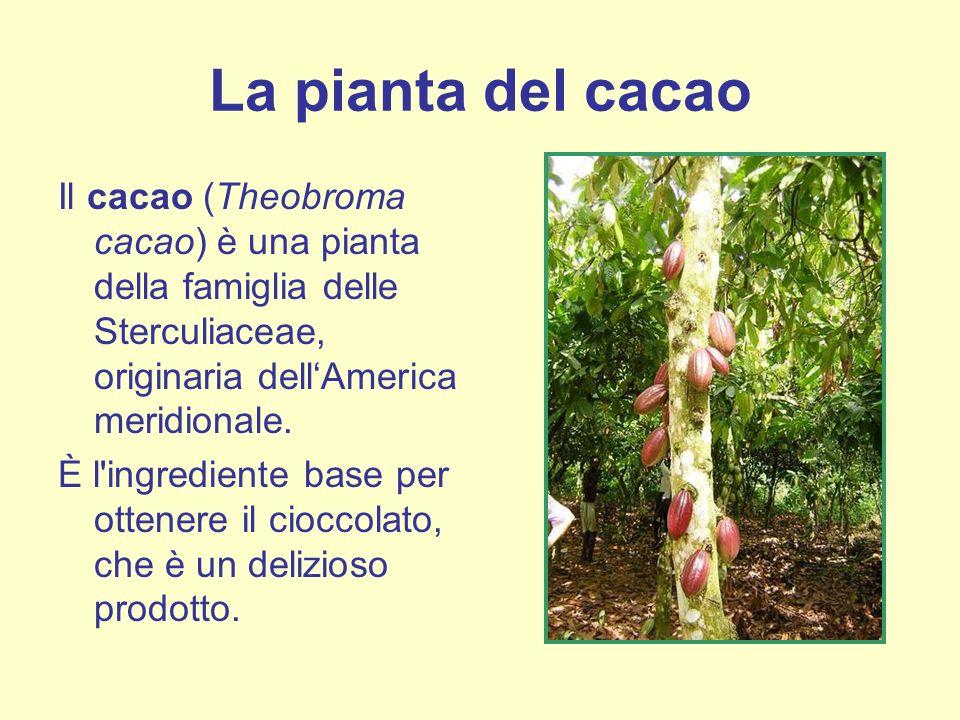 La pianta del cacao Il cacao (Theobroma cacao) è una pianta della famiglia delle Sterculiaceae, originaria dellAmerica meridionale. È l'ingrediente ba