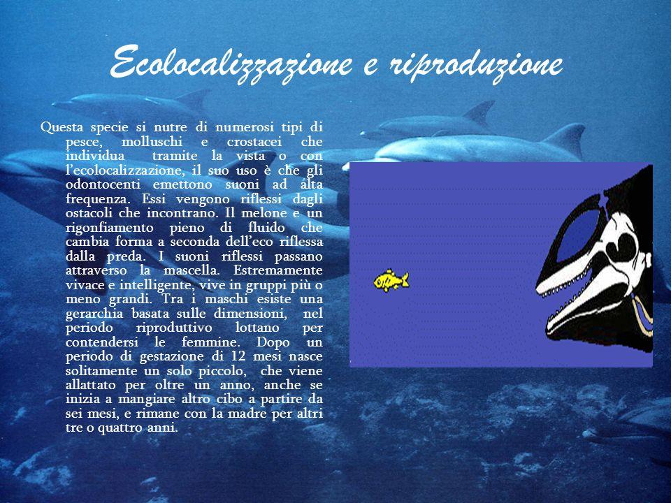 Ecolocalizzazione e riproduzione Questa specie si nutre di numerosi tipi di pesce, molluschi e crostacei che individua tramite la vista o con lecoloca