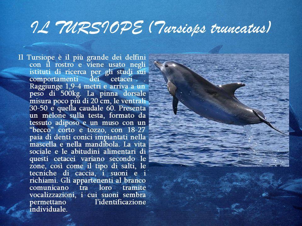 IL TURSIOPE (Tursiops truncatus) Il Tursiope è il più grande dei delfini con il rostro e viene usato negli istituti di ricerca per gli studi sui compo