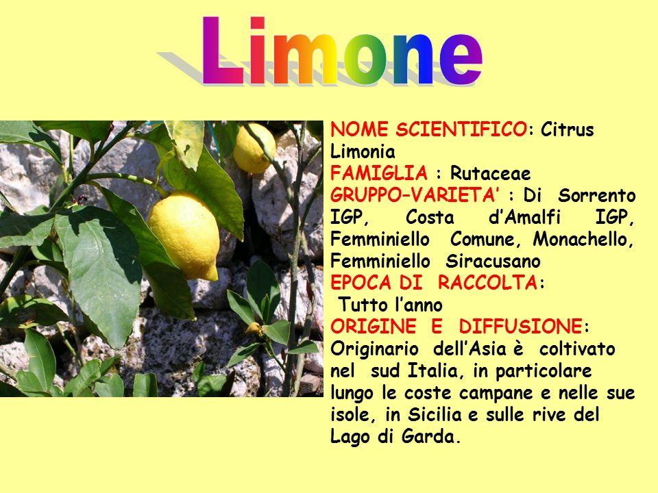 NOME SCIENTIFICO: Citrus Limonia FAMIGLIA : Rutaceae GRUPPO–VARIETA : Di Sorrento IGP, Costa dAmalfi IGP, Femminiello Comune, Monachello, Femminiello