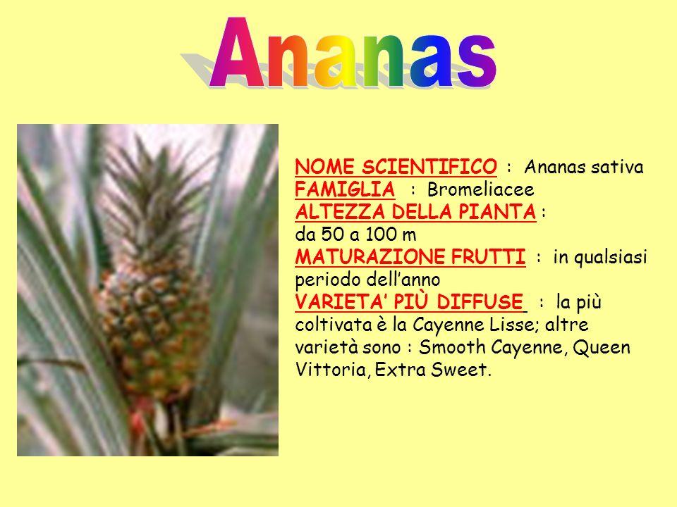NOME SCIENTIFICO : Ananas sativa FAMIGLIA : Bromeliacee ALTEZZA DELLA PIANTA : da 50 a 100 m MATURAZIONE FRUTTI : in qualsiasi periodo dellanno VARIET