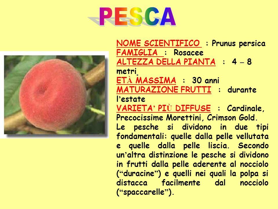 NOME SCIENTIFICO : Prunus persica FAMIGLIA : Rosacee ALTEZZA DELLA PIANTA : 4 – 8 metri ET À MASSIMA : 30 anni MATURAZIONE FRUTTI : durante l estate V