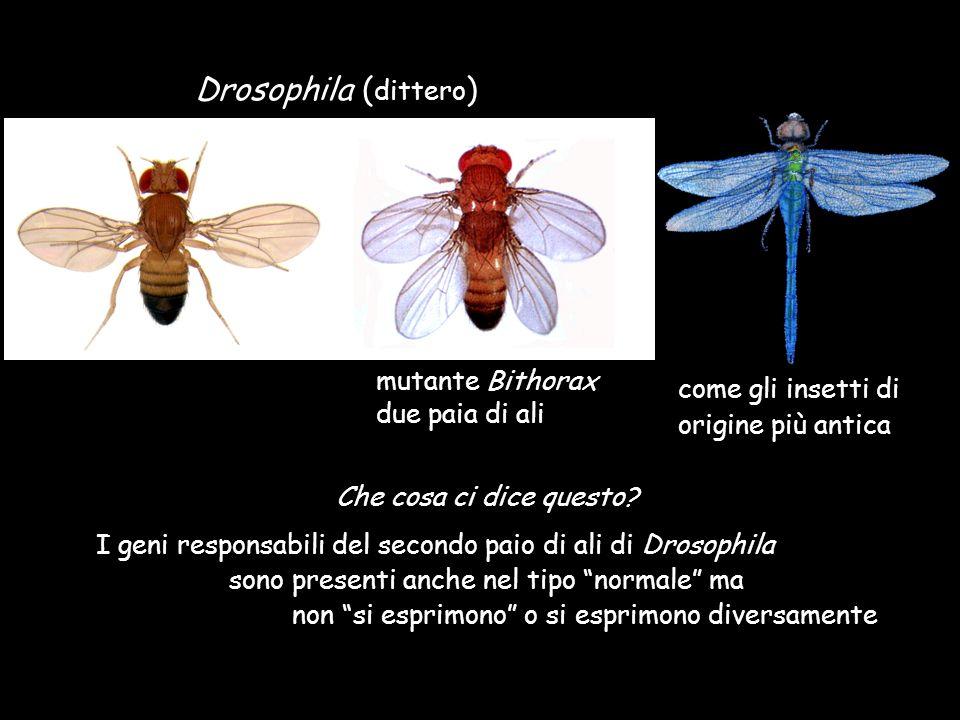 Drosophila ( dittero ) mutante Bithorax due paia di ali Che cosa ci dice questo? I geni responsabili del secondo paio di ali di Drosophila sono presen