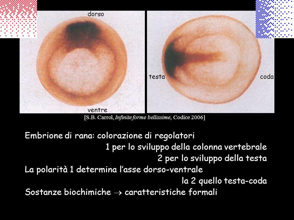 Embrione di rana: colorazione di regolatori 1 per lo sviluppo della colonna vertebrale 2 per lo sviluppo della testa La polarità 1 determina lasse dor