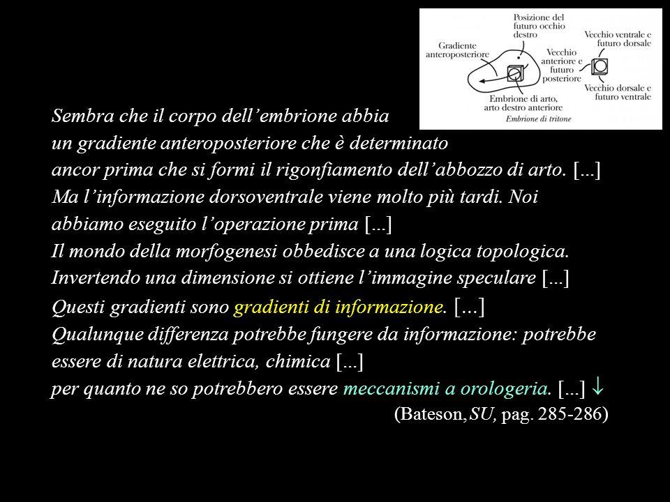 Sembra che il corpo dellembrione abbia un gradiente anteroposteriore che è determinato ancor prima che si formi il rigonfiamento dellabbozzo di arto.