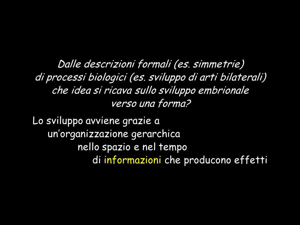 Dalle descrizioni formali (es. simmetrie) di processi biologici (es. sviluppo di arti bilaterali) che idea si ricava sullo sviluppo embrionale verso u