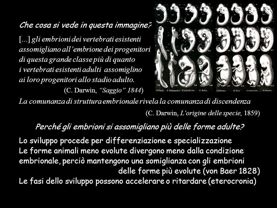 Che cosa si vede in questa immagine? [...] gli embrioni dei vertebrati esistenti assomigliano allembrione dei progenitori di questa grande classe più