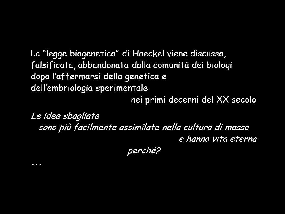 La legge biogenetica di Haeckel viene discussa, falsificata, abbandonata dalla comunità dei biologi dopo laffermarsi della genetica e dellembriologia