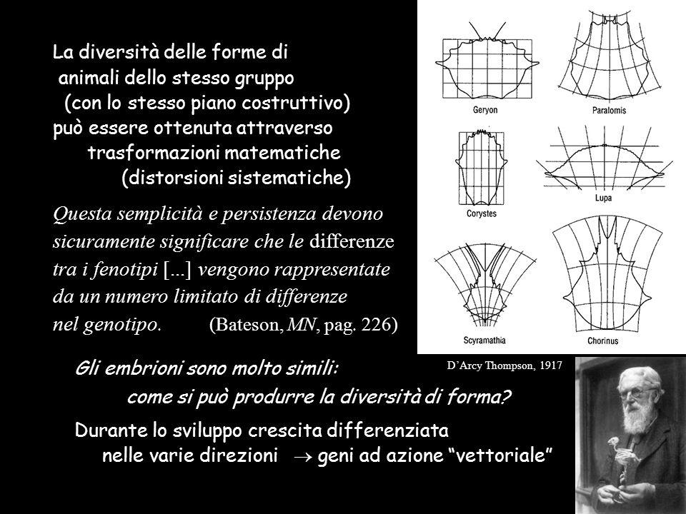 La diversità delle forme di animali dello stesso gruppo (con lo stesso piano costruttivo) può essere ottenuta attraverso trasformazioni matematiche (d