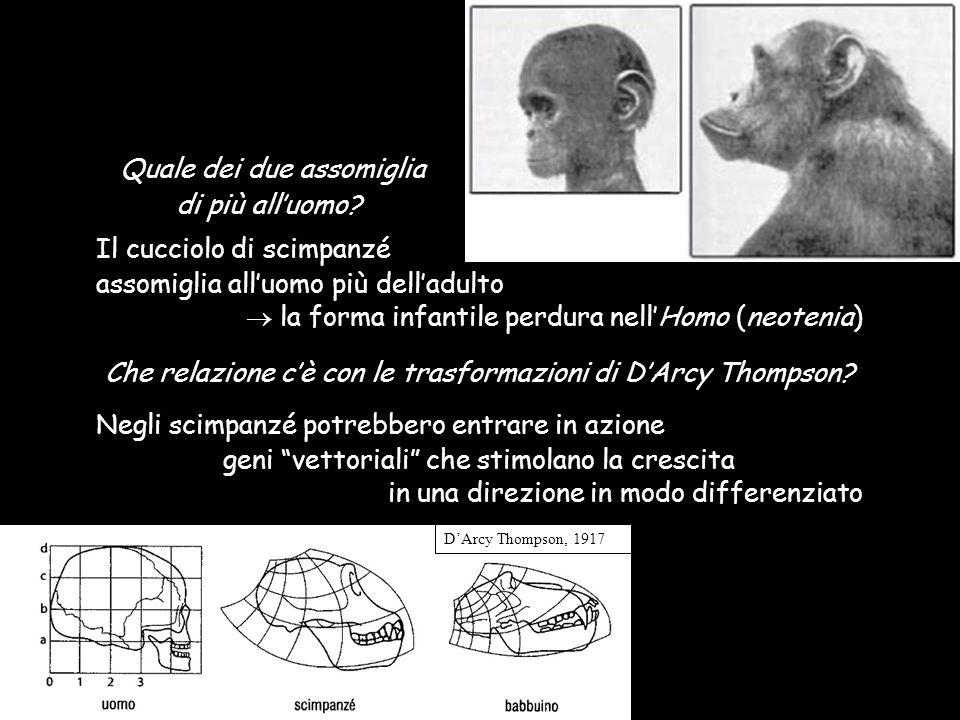DArcy Thompson, 1917 Quale dei due assomiglia di più alluomo? Il cucciolo di scimpanzé assomiglia alluomo più delladulto la forma infantile perdura ne