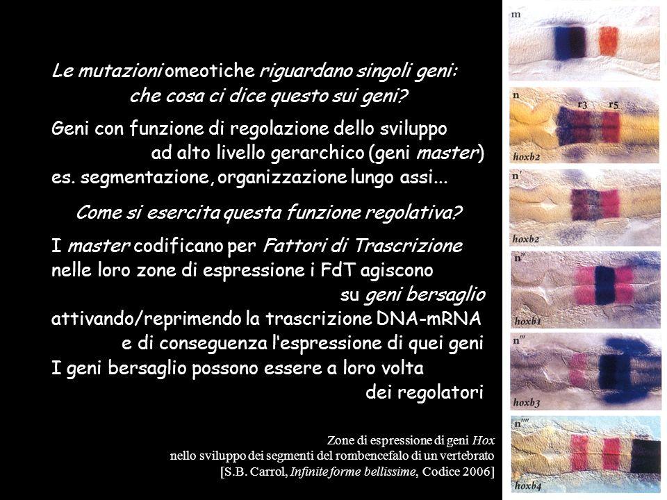 Le mutazioni omeotiche riguardano singoli geni: che cosa ci dice questo sui geni? Geni con funzione di regolazione dello sviluppo ad alto livello gera