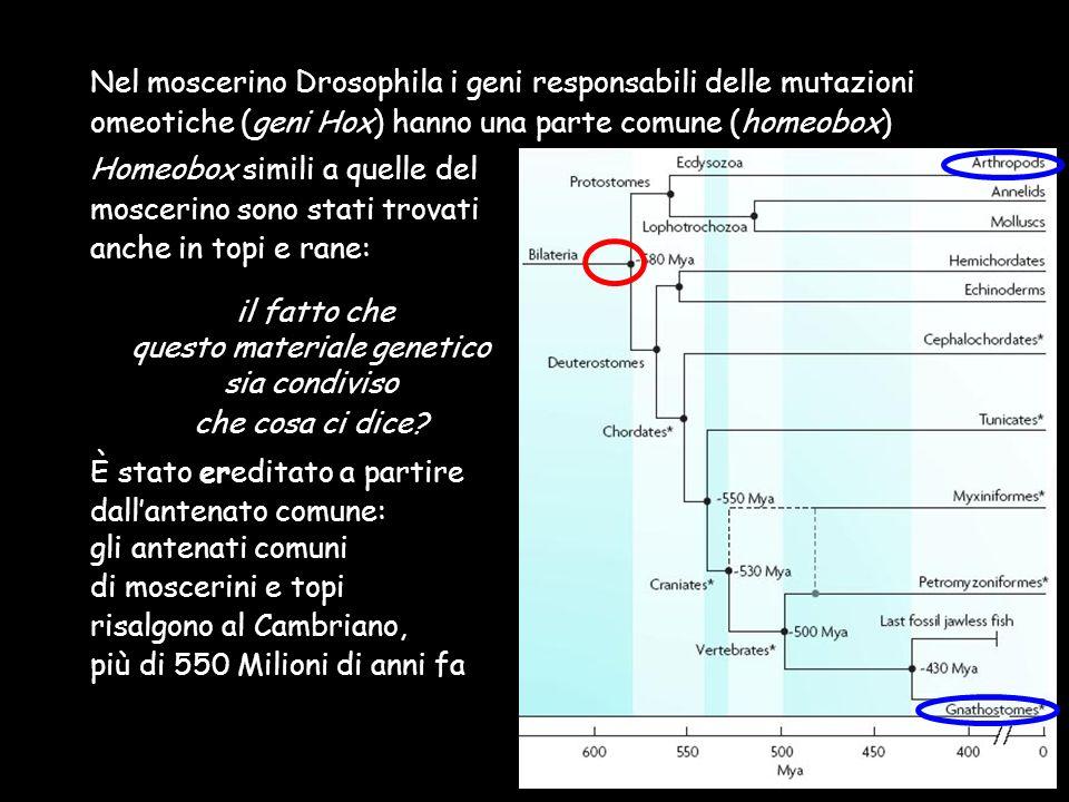 Homeobox simili a quelle del moscerino sono stati trovati anche in topi e rane: il fatto che questo materiale genetico sia condiviso che cosa ci dice?