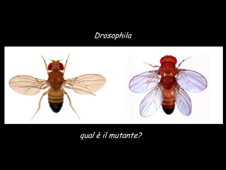 Drosophila qual è il mutante?