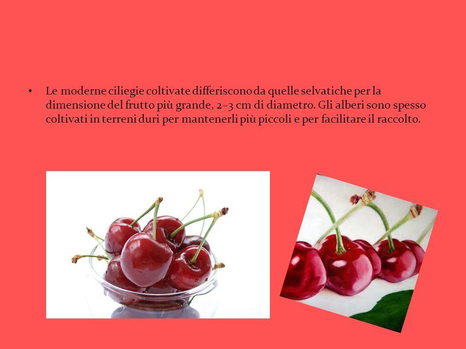 Le moderne ciliegie coltivate differiscono da quelle selvatiche per la dimensione del frutto più grande, 2–3 cm di diametro. Gli alberi sono spesso co