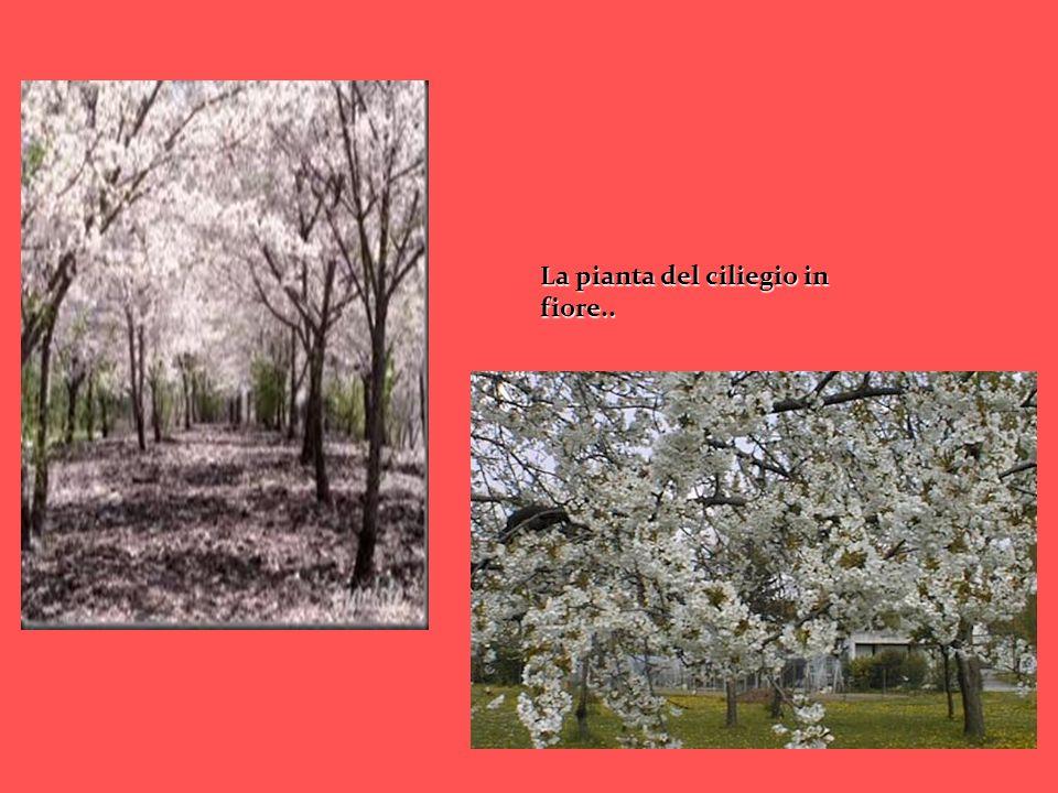 La pianta del ciliegio in fiore..