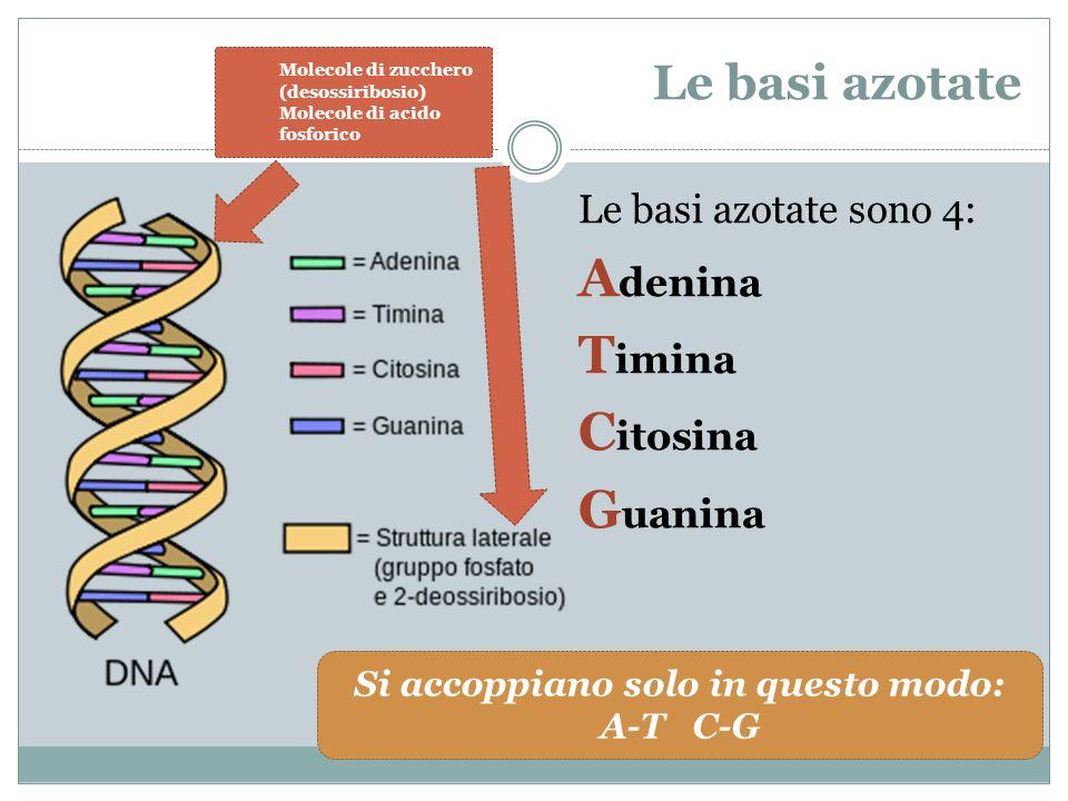 Le basi azotate Le basi azotate sono 4: A denina T imina C itosina G uanina Si accoppiano solo in questo modo: A-T C-G Molecole di zucchero (desossiri