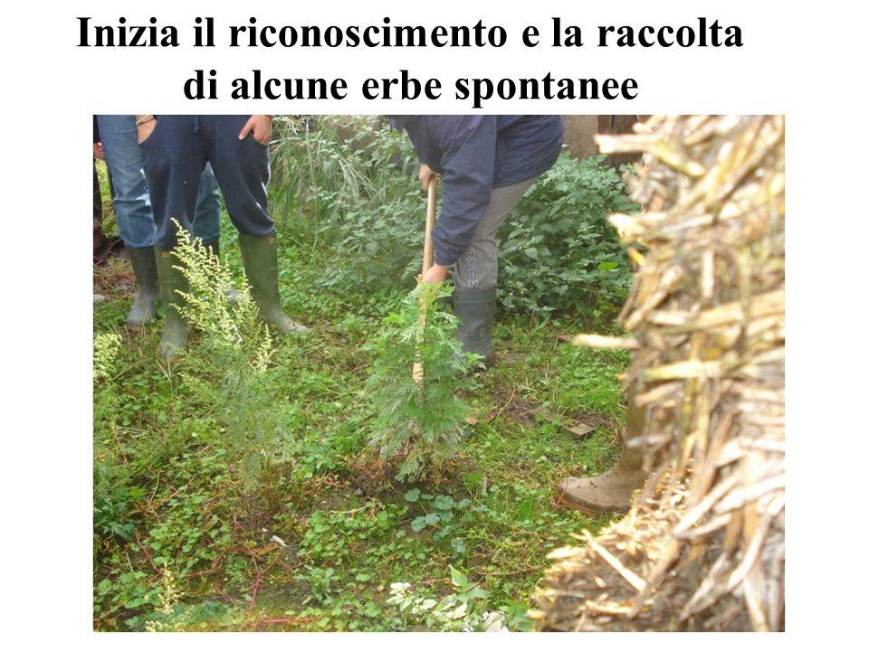 Inizia il riconoscimento e la raccolta di alcune erbe spontanee