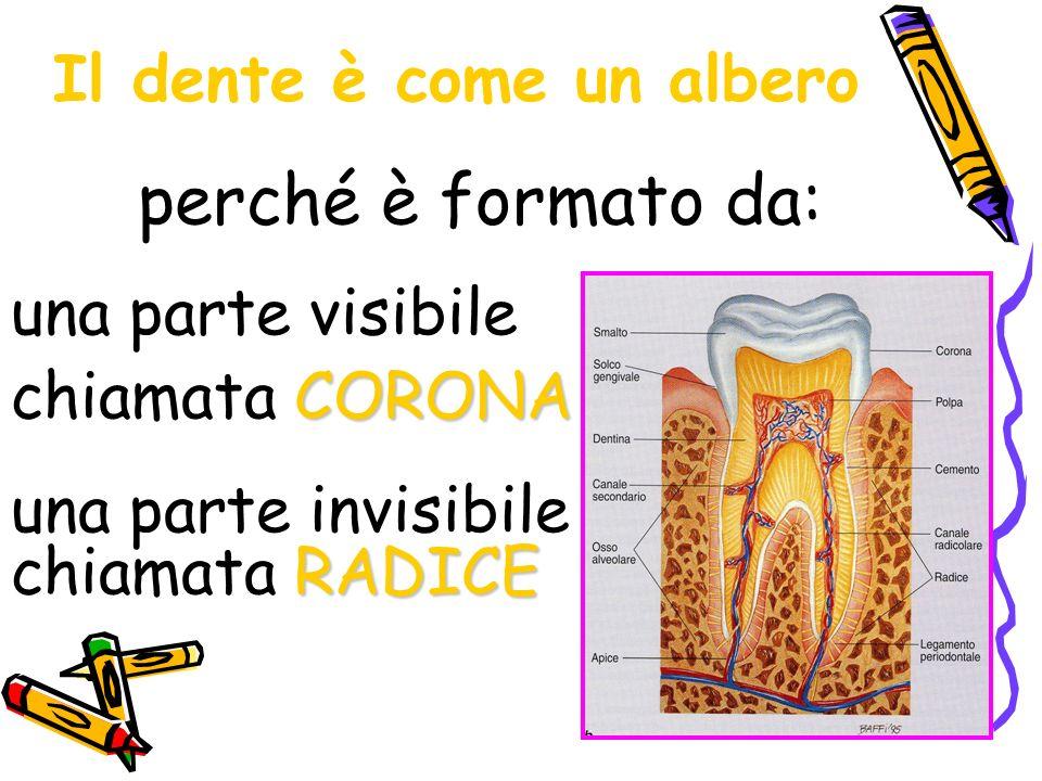 Il dente è come un albero una parte visibile CORONA chiamata CORONA perché è formato da: RADICE una parte invisibile chiamata RADICE