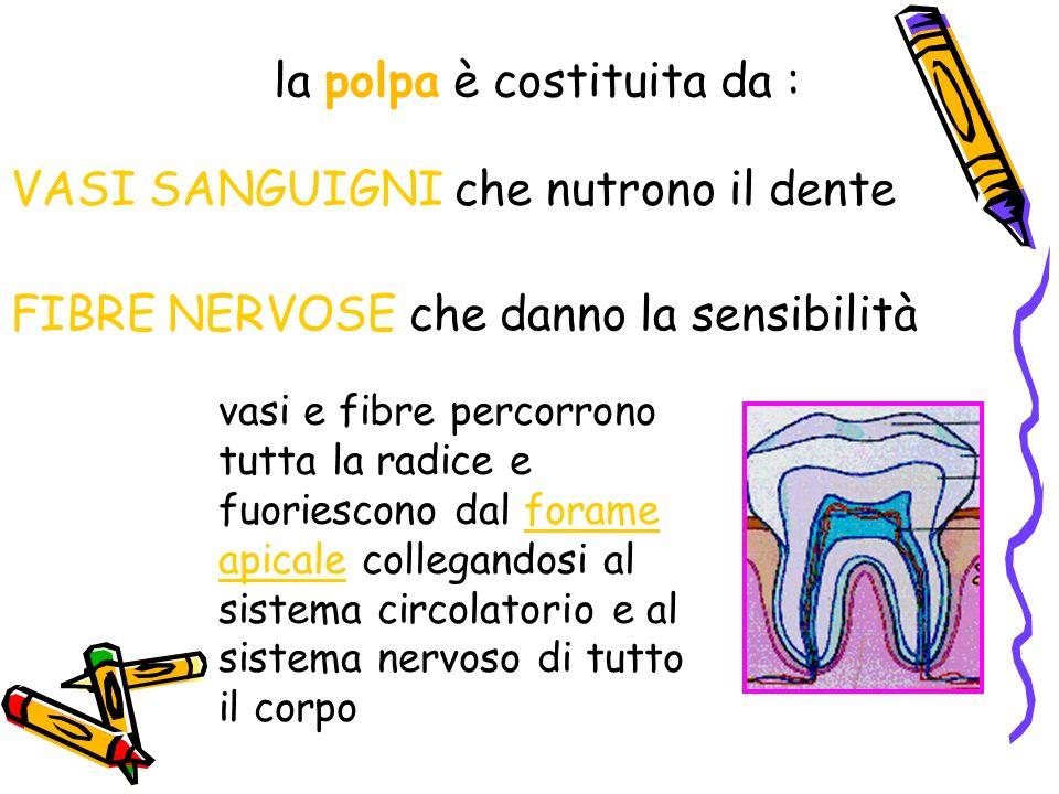 vasi e fibre percorrono tutta la radice e fuoriescono dal forame apicale collegandosi al sistema circolatorio e al sistema nervoso di tutto il corpo la polpa è costituita da : VASI SANGUIGNI che nutrono il dente FIBRE NERVOSE che danno la sensibilità