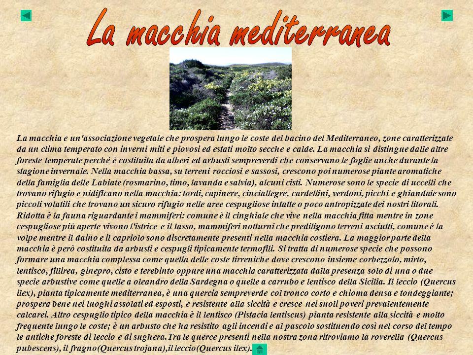 La macchia e un'associazione vegetale che prospera lungo le coste del bacino del Mediterraneo, zone caratterizzate da un clima temperato con inverni m