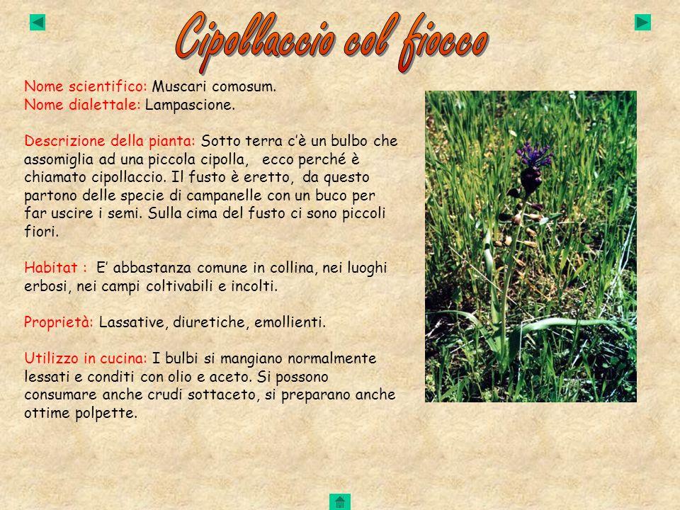 Nome scientifico: Muscari comosum. Nome dialettale: Lampascione. Descrizione della pianta: Sotto terra cè un bulbo che assomiglia ad una piccola cipol