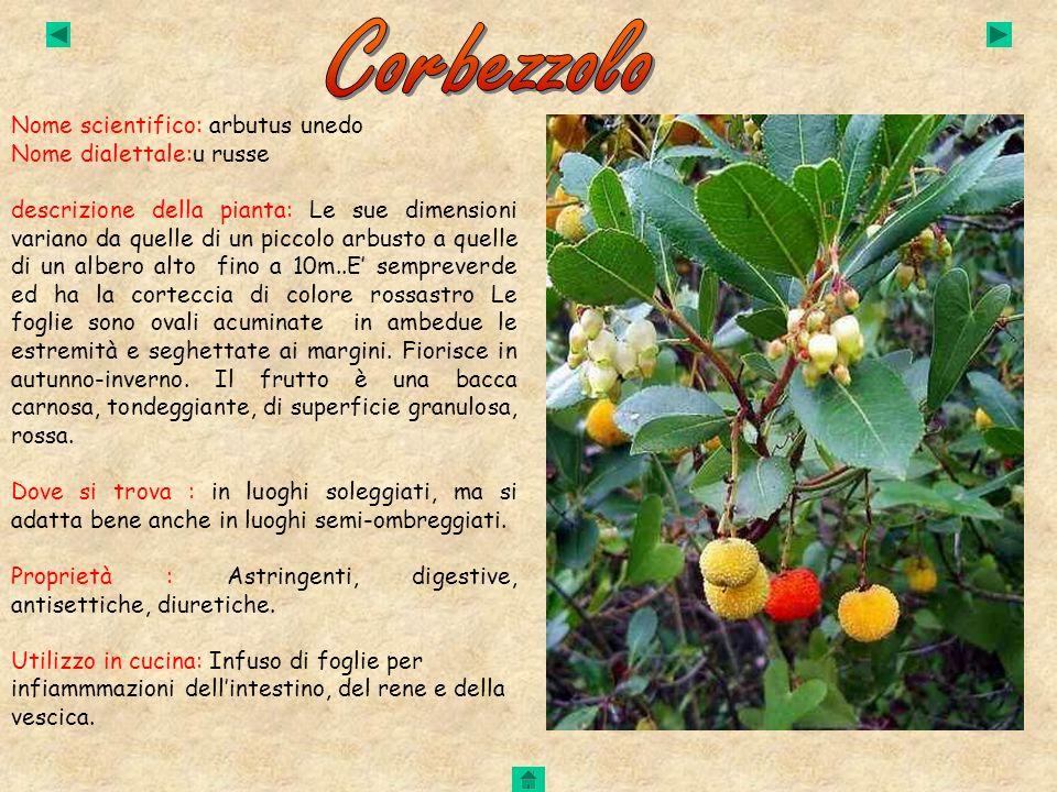 Nome scientifico: arbutus unedo Nome dialettale:u russe descrizione della pianta: Le sue dimensioni variano da quelle di un piccolo arbusto a quelle d