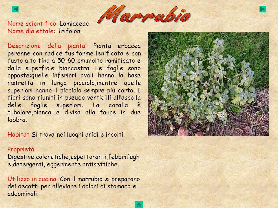 Nome scientifico: Lamiaceae. Nome dialettale: Trifolon. Descrizione della pianta: Pianta erbacea perenne con radice fusiforme lenificata e con fusto a