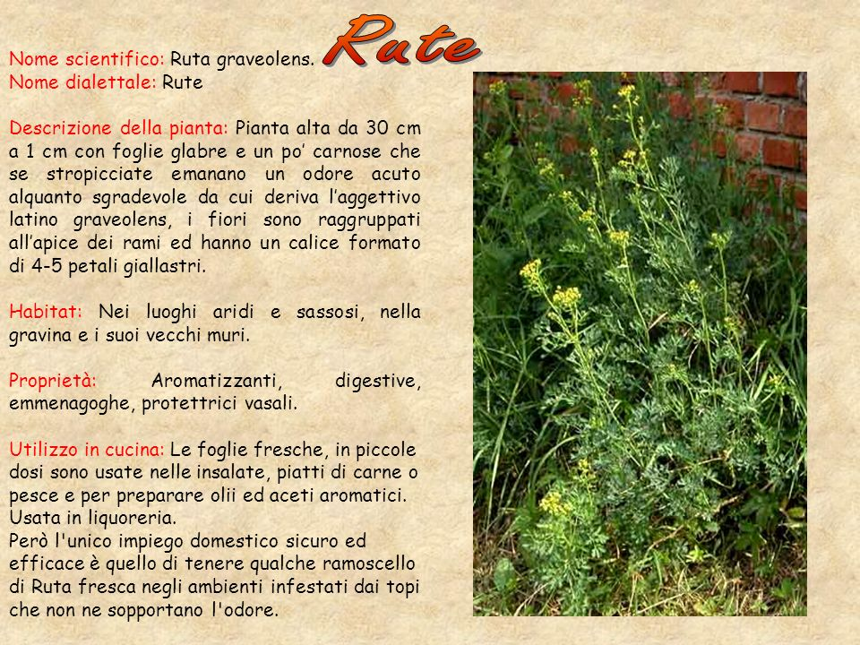 Nome scientifico: Ruta graveolens.