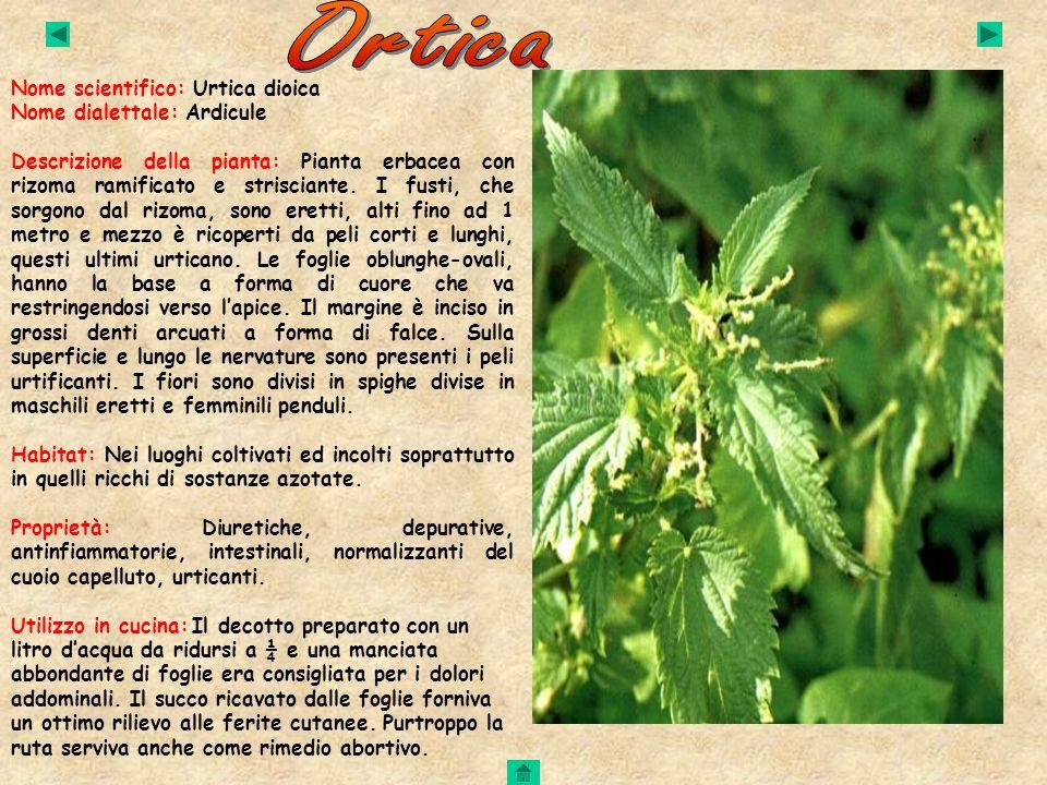 Nome scientifico: Urtica dioica Nome dialettale: Ardicule Descrizione della pianta: Pianta erbacea con rizoma ramificato e strisciante. I fusti, che s
