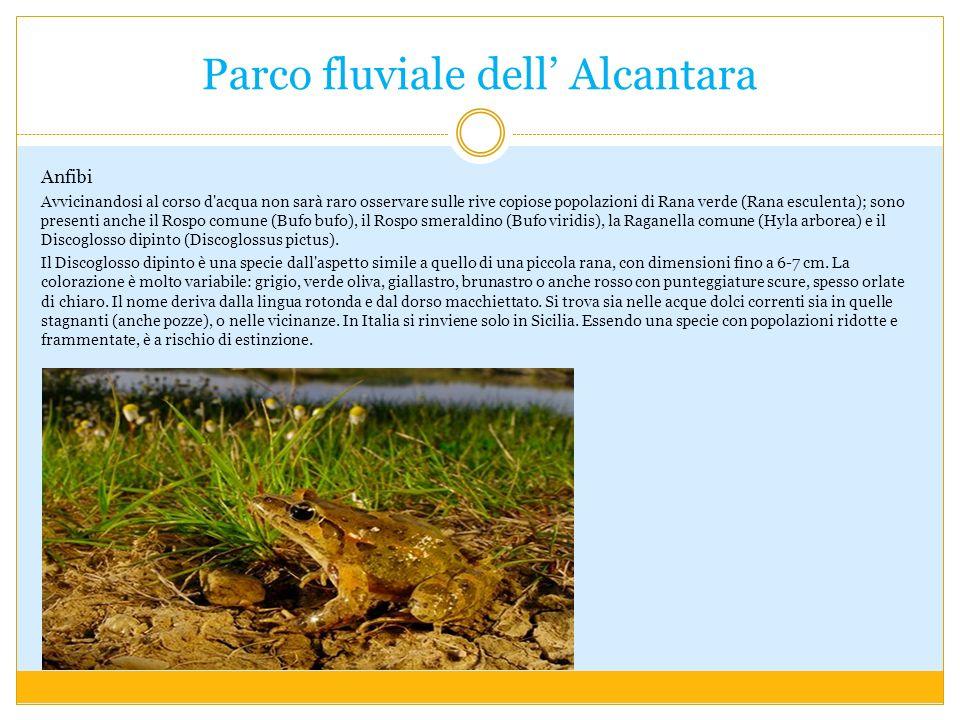 Parco fluviale dell Alcantara Anfibi Avvicinandosi al corso d'acqua non sarà raro osservare sulle rive copiose popolazioni di Rana verde (Rana esculen
