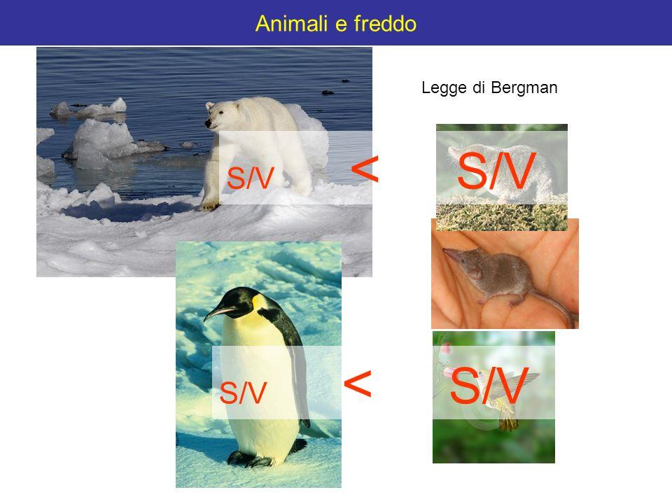 Animali e freddo S/V < S/V Legge di Bergman S/V < S/V