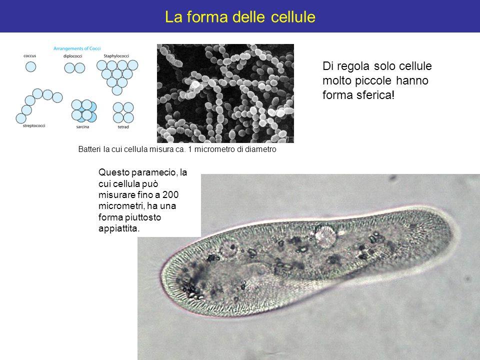 La forma delle cellule Di regola solo cellule molto piccole hanno forma sferica! Batteri la cui cellula misura ca. 1 micrometro di diametro Questo par