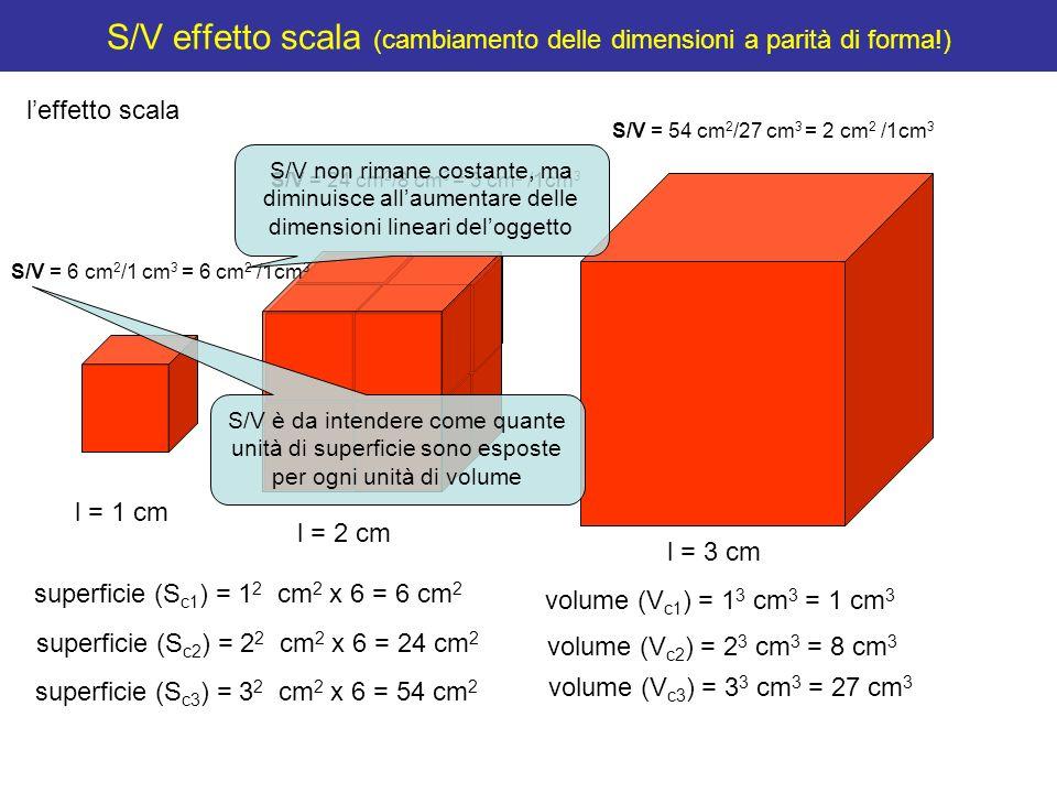 S/V effetto scala (cambiamento delle dimensioni a parità di forma!) leffetto scala S/V = 3 cm 2 /1cm 3 S/V = 2 cm 2 /1cm 3 S/V = 6 cm 2 /1cm 3 S/V > > Allaumentare delle dimensioni lineari, il volume aumenta in ragione della terza potenza, mentre la superficie solo in ragione della seconda potenza!