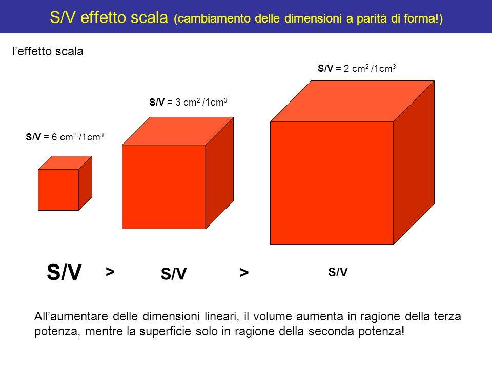 S/V effetto scala (cambiamento delle dimensioni a parità di forma!) leffetto scala S/V = 3 cm 2 /1cm 3 S/V = 2 cm 2 /1cm 3 S/V = 6 cm 2 /1cm 3 S/V > >