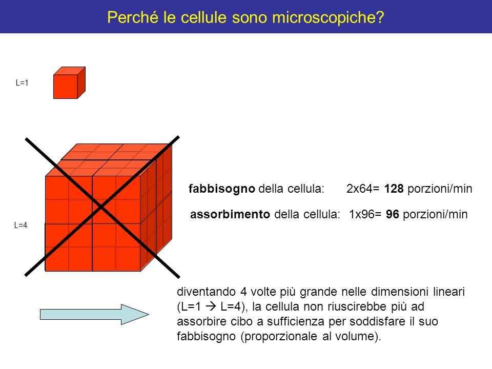 Perché le cellule sono microscopiche? fabbisogno della cellula: 2x64= 128 porzioni/min assorbimento della cellula: 1x96= 96 porzioni/min L=4 L=1 diven