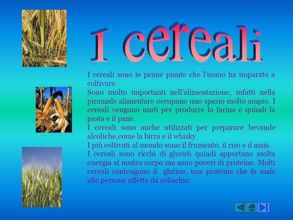 I cereali sono le prime piante che luomo ha imparato a coltivare. Sono molto importanti nellalimentazione, infatti nella piramide alimentare occupano