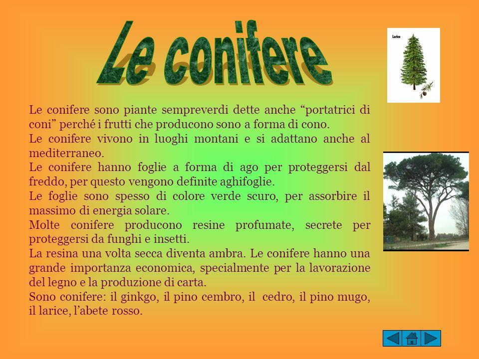 Le conifere sono piante sempreverdi dette anche portatrici di coni perché i frutti che producono sono a forma di cono. Le conifere vivono in luoghi mo